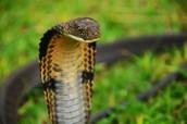 King Cobra: Ophiophagus hannah
