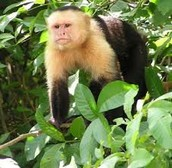 Omnivore:  Ape- (possibly):