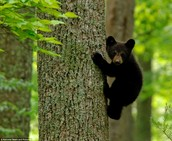 What do Black Bear eat?