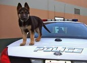 Police car and canine