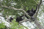 A mother gorilla with her infants up in the tree.