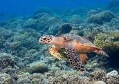 The turtle at Tubbataha Reef