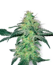 Best Cannabis Seeds and Marijuana At Sensi Seeds