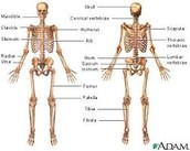 Fun facts of the skeletal system and how homeostasis works with the skeletal system