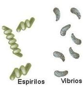 ESPIRILOS   /     VIBRIOS