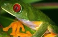 Red eyre frog and tree