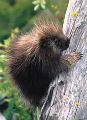 Animal Encounters: Prickly Porcupines (1st-5th)