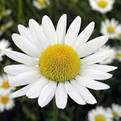 The Camomile (Matricaria Recutita)