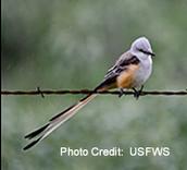 scissor tailed flycatcher is the state bird