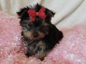 Shinny Yorkie Pup