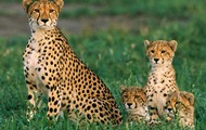 and cheetahs