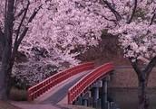 A Bridge to Sakura