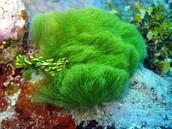 Marine Plant