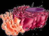 Endo-plasmic Reticulum
