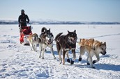 What is a sled dog?