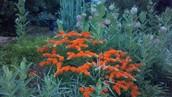 My Garden of Milkweed