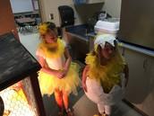 Chicks watching new baby chicks