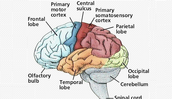 different parts of the brain.