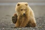 Blonde Bears