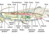 Internal of a Grasshopper
