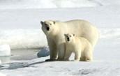 Russian polar bear