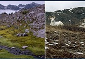 pine tundra in Mt. Rainier National Park, Washington; Dall Sheep in the Arctic National Wildlife Refuge, Alaska.