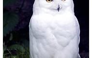 Snowy The Owl!