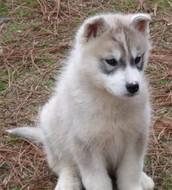 Silver/Grey Male Siberian Husky akc