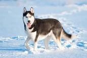 I am doing my companion animal on a husky