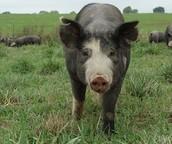 THE BEST PIG AROUND!