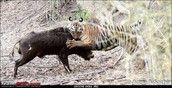 tiger eating buffalo
