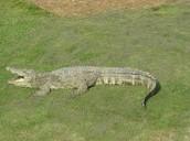 siameie crocodile