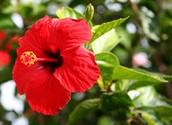 Vibrant Hibiscus
