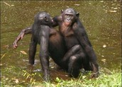 See our Chimps!