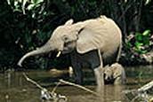 פיל יער אפריקני