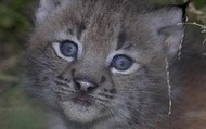 This is a lynx