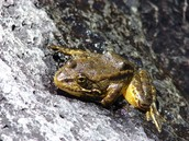 moutain chiken frog