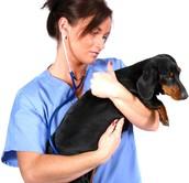 A Veterinarian's Education And Job Description,