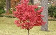 Japanese Maple; Acer palmatum