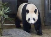 Joe the Panda