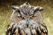 Characteristics of an owl