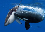 קטלן טורף כריש
