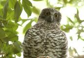 The powerful owl is a native Australian bird.