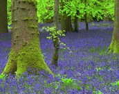 BLUEBELLS IN THE FOREST IN THE SPRING TIME