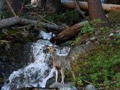 A deer near the stream
