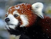 red pandas in its natural habitat (natural climate)