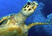 Hawkbill turtles