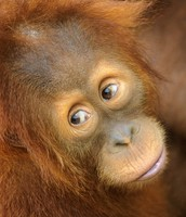 The baby orangutang