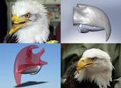 Bald eagle beak