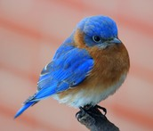 State Bird - Bluebird